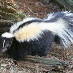 Photo of skunk
